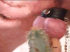 Cock ball torture man meat  with cactus and made to jizz